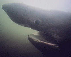 Basking Shark Hea