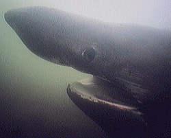 Basking Shark Hea
