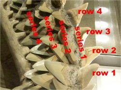 Couning Shark Teeth