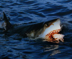 Great White Feeding