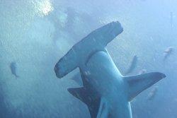Hammerhead Shark Head