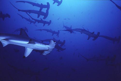 Bonhead Sphyrna Tiburo Scalloped Hammerhead Shark