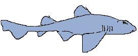 Bullhead Sharks
