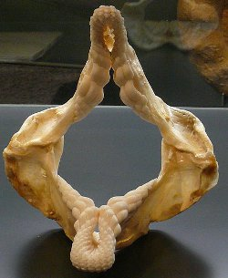 Port Jackson Shark Jaws