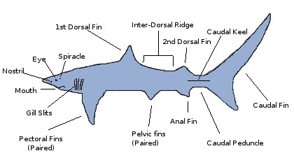 Shark Anatomy | 420 x 236 jpeg 20kB