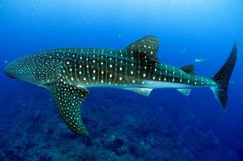 Whale Shar