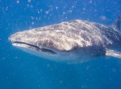 Whale Sark