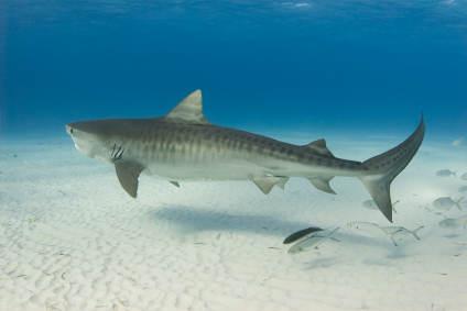 Tiger Shark - Carcharhinida