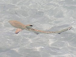 Blacktip Reef Shark in the Shallows