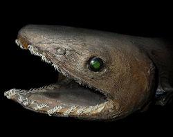 Frilled Shark Head