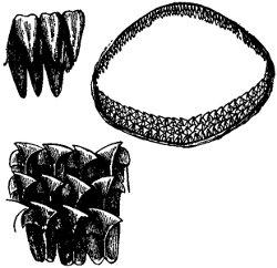 Greenland Shark Teeth