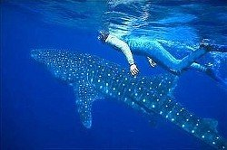Snorkelling with Whale Shar