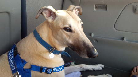 greyhound in car